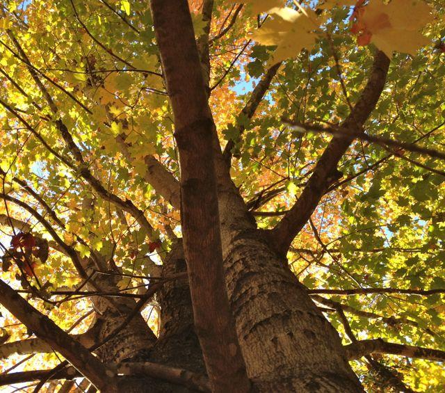 big maple tree losing it's leaves