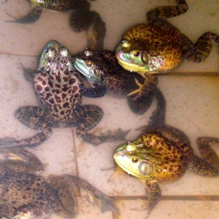 Farms in Singapore: Jurong Frog Farm