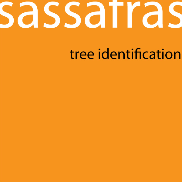 Sassafras Tree Identification