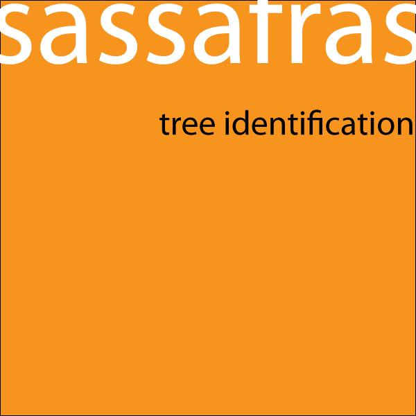 Sassafras Tree Identification