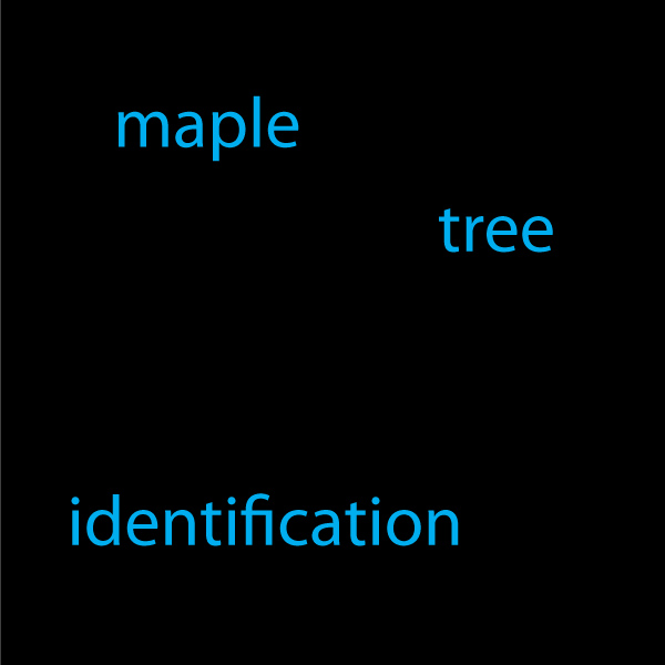 maple tree identification
