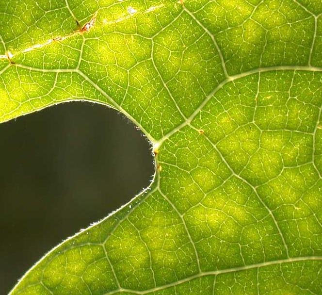 Sassafras Tree Leaf