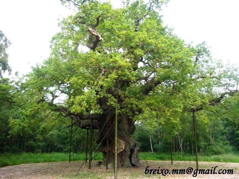 The Major Oak in Nottingham