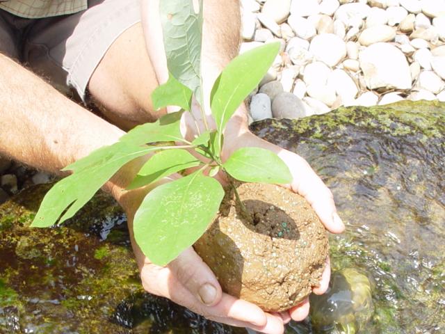 Sassafras tree planting