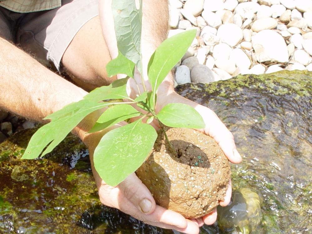Planting a sassafrass tree