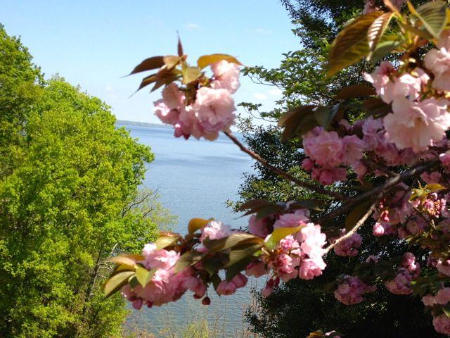 alabama-cherry-blossoms-spring1.jpg