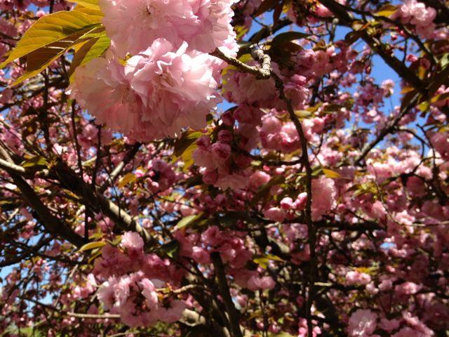 alabama-cherry-blossoms-spring2.jpg