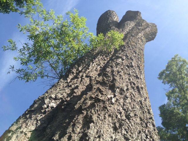 tomheflintuscumbiatree2.jpg