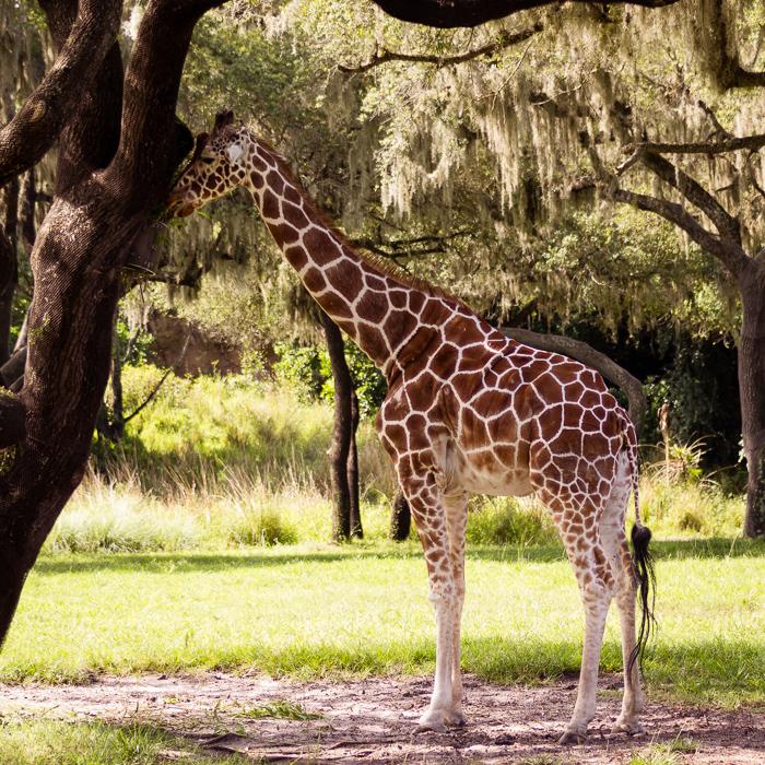 Giraffe, obvs