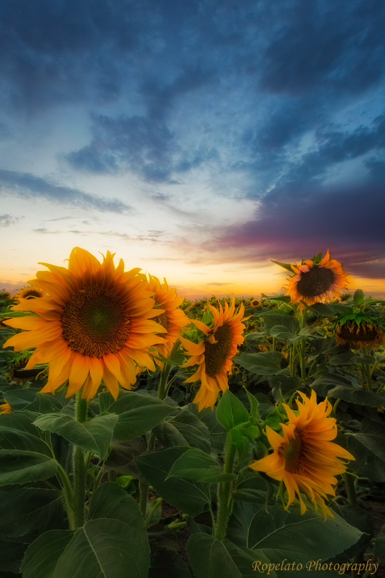 Last Ride of the Sunflower Web.jpg
