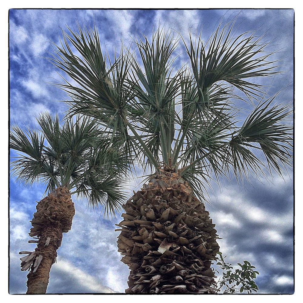 Palm trees in Boynton Beach, Fla., shot on March 5, 2014.