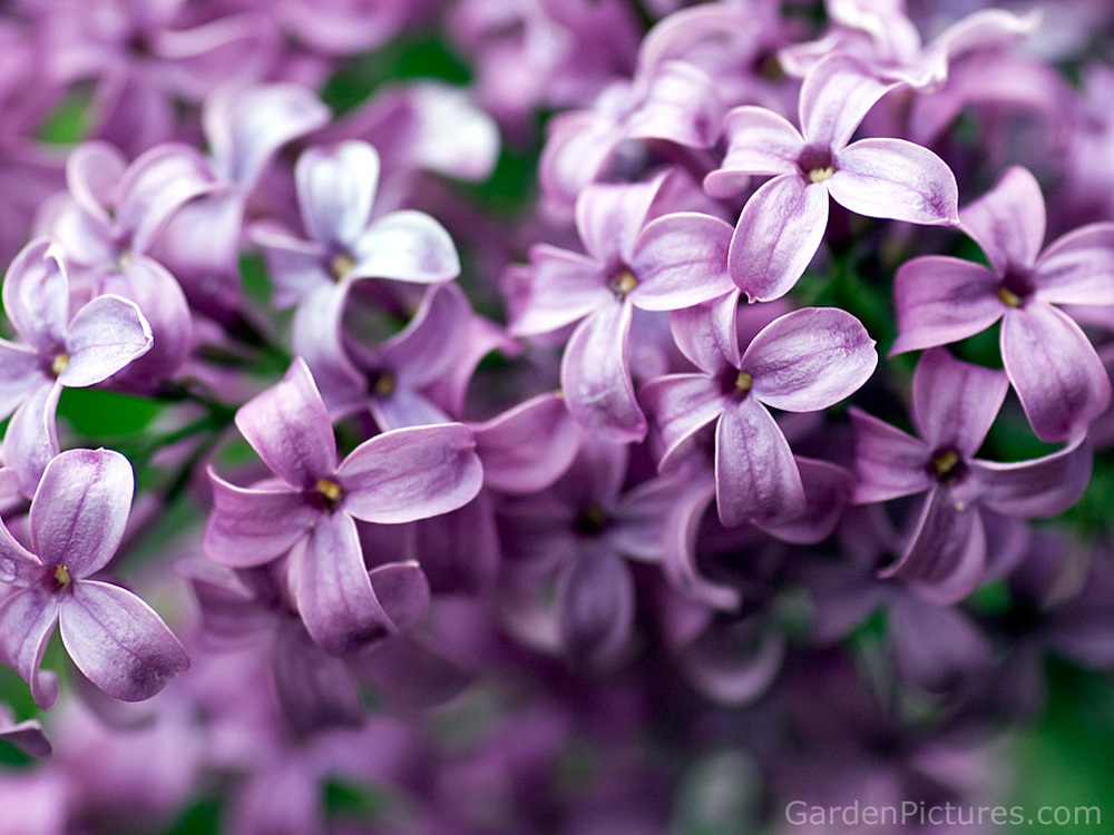 pink-lilac-flower-background.jpg