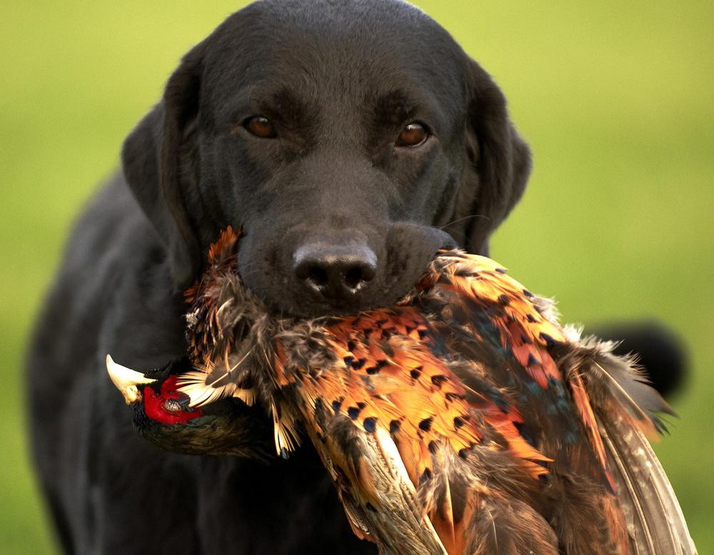 Buddy - Cynhinfa Grant hunting