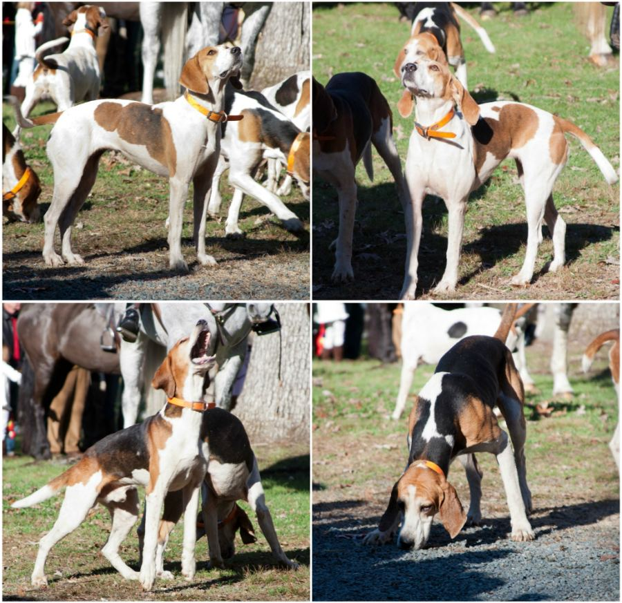 hounds1_collage.jpg
