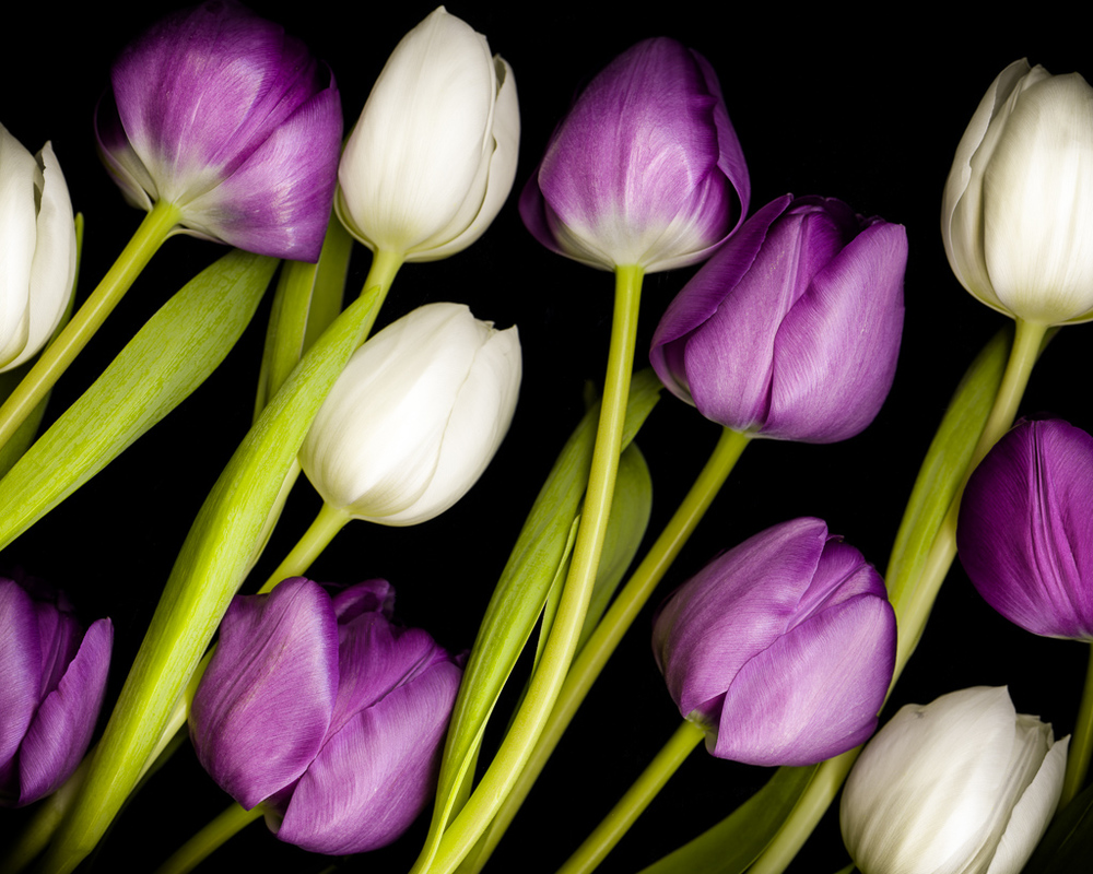 Tulips III