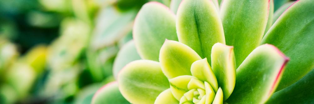 Succulent, Encinitas, CA