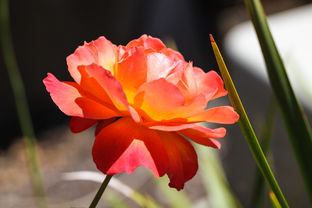 summerrose.jpg