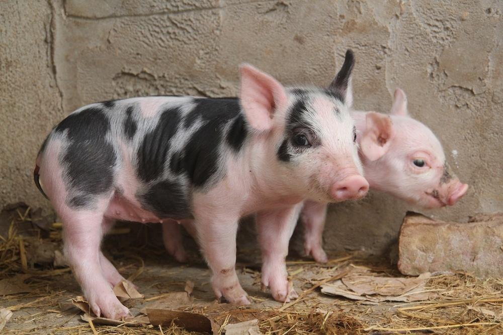 Pig Web 5 015.jpg