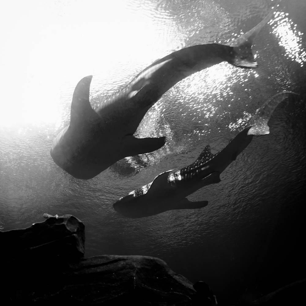 Photo: Two whale sharks in the Georga Aquarium (Atlanta), by Barend Jan de Jong (Leica M9, Summicron 35mm).
