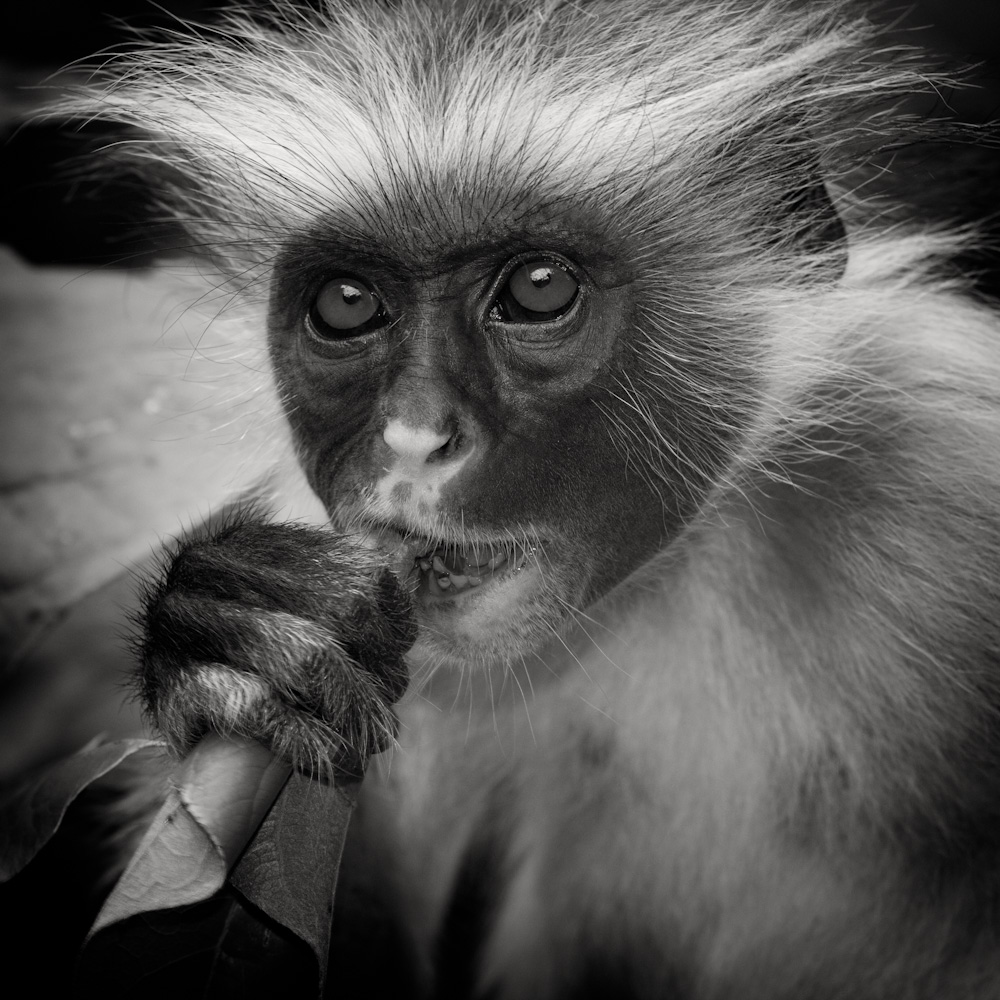 Photo: Red Colobus, Zanzibar (2010), by Barend Jan de Jong (Canon 5D mkII, Canon EF 100-400mm f/4.5-5.6 L IS USM).