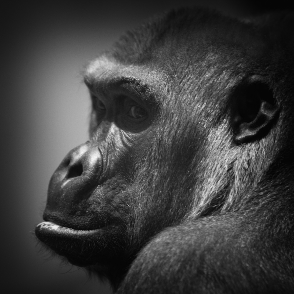 Photo: Gorilla in the Blijdorp Zoo, photo by Barend Jan de Jong (Canon 5D mkII, Canon EF 70-200 f/2.8 L IS USM).