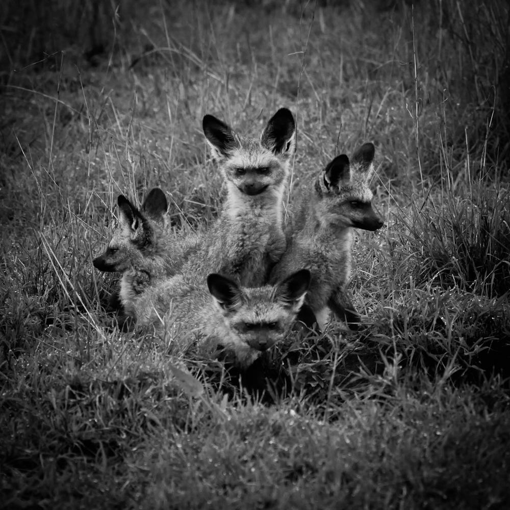Photo: Bat-Eared Foxes, Tanzania, by Barend Jan de Jong.