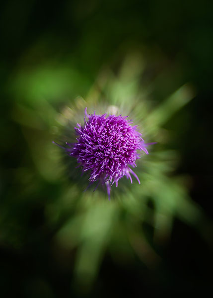 220/316 • The Thistle