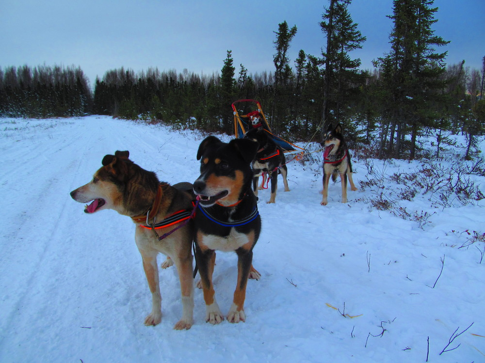 This picture is courtesy of Claudia and Frank Sihler, owners of The Better Companion.  Claudia and Frank stock our ComfortFlex harnesses at their training facility in Wasilla, Alaska.  Claudia is a veterinarian and Certified Professional Dog Trainer specializing in behavior.  Frank is a two time finisher of the famed Iditarod, the 1049 mile sled dog race from Anchorage to Nome.  If you are into outdoor sports with dogs and you are in the Wasilla area, stop by and check them out.