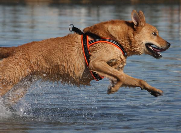 comfortflexharnessdog.jpg