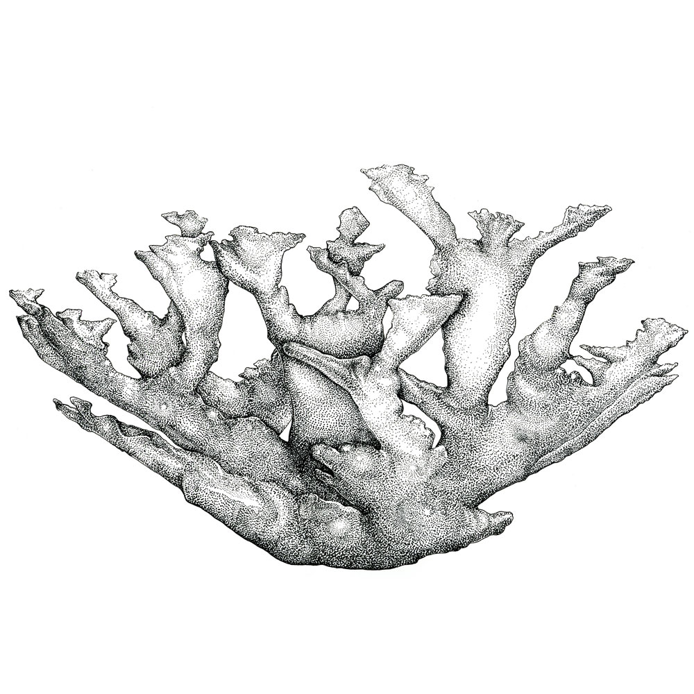 Elkhorn Coral   Ink on Velllum