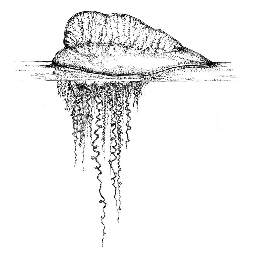 Portuguese Man Of War Ink on Vellum