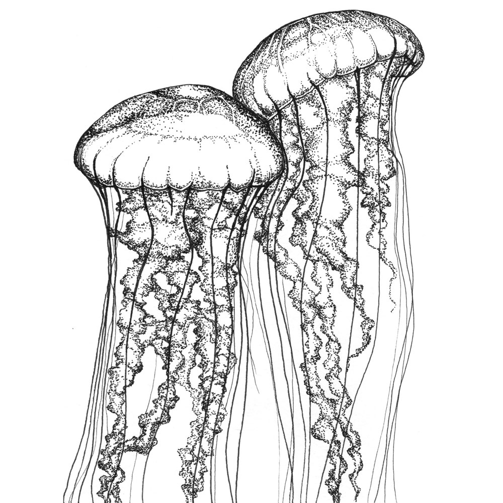 Two Sea Nettles Ink on Watercolor