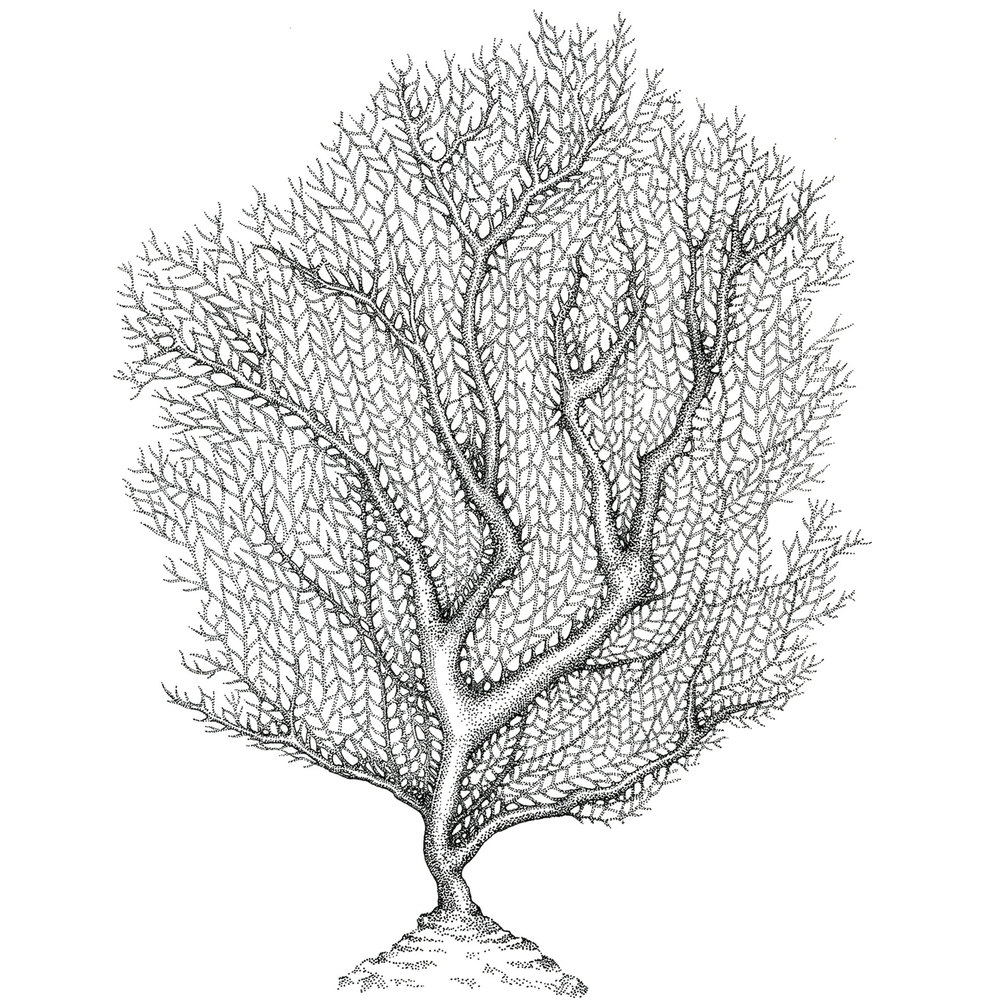 Sea Fan Ink on Vellum
