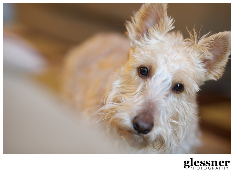 Miranda Meadows wheaton Scottish Terrier Darcy by Glessner Photography