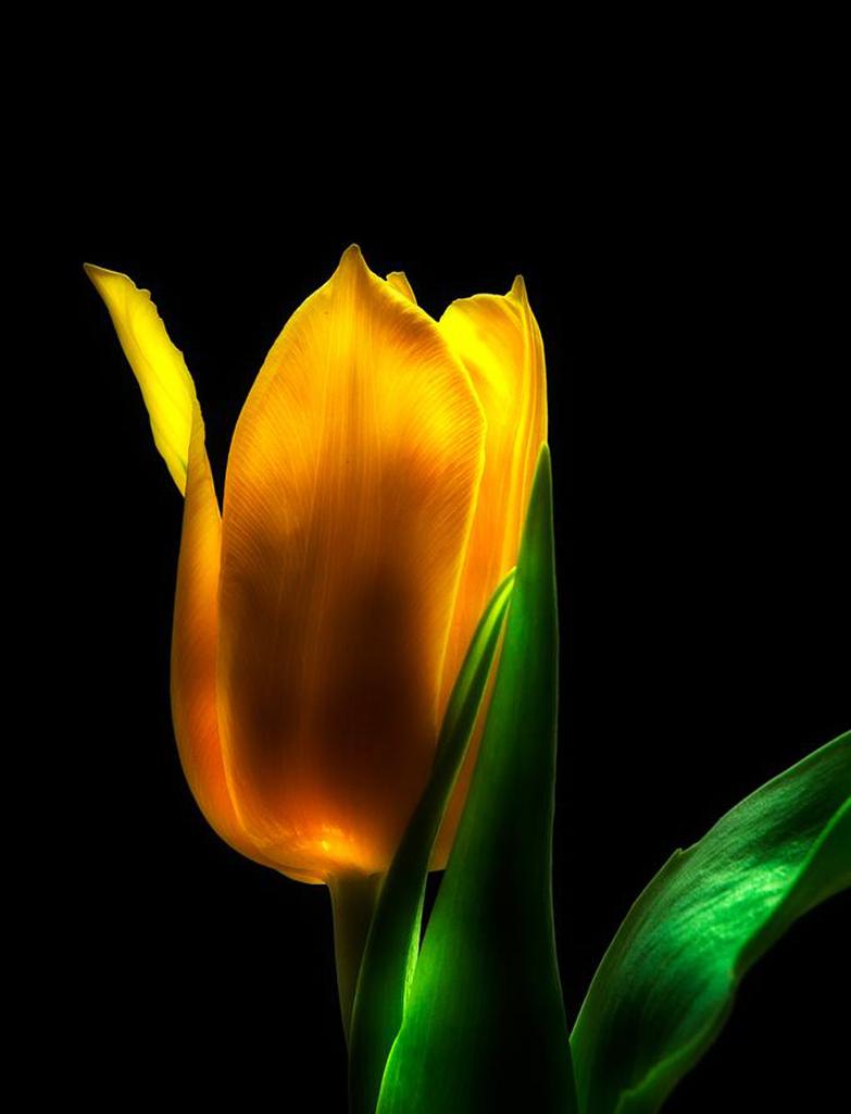 Mihai Costea-Yellow tulip.jpg
