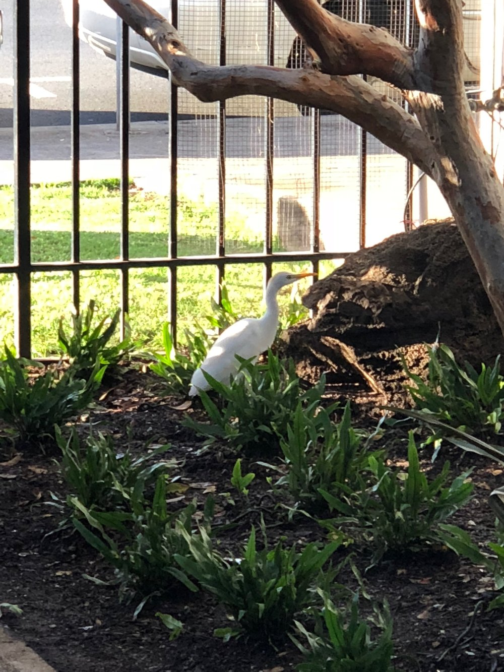 An egret enjoys the new plantings by the lanai.