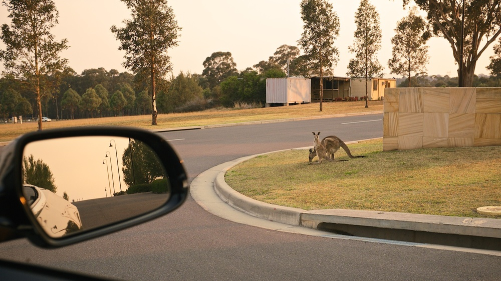 A pair of kangaroos watch passing cars on the side of a road in the Hunter Valley, Australia