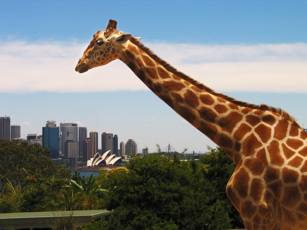 A giraffe in Taronga Zoo in Sydney, Australia with the Opera House in the background.