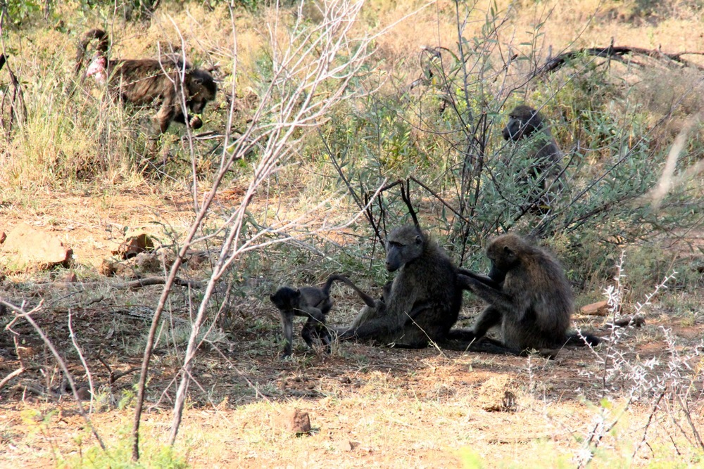 Monkey South Africa