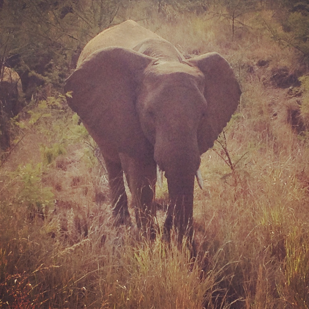 Elephant South Africa