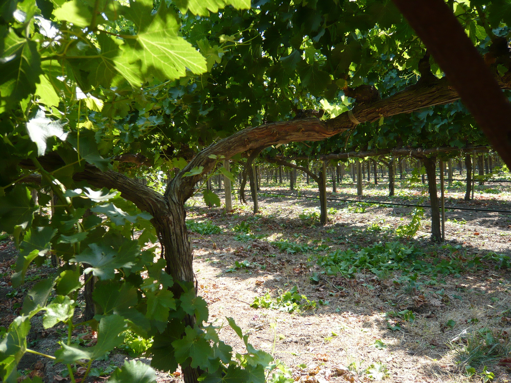 Silverado Vineyards grapevines.jpg