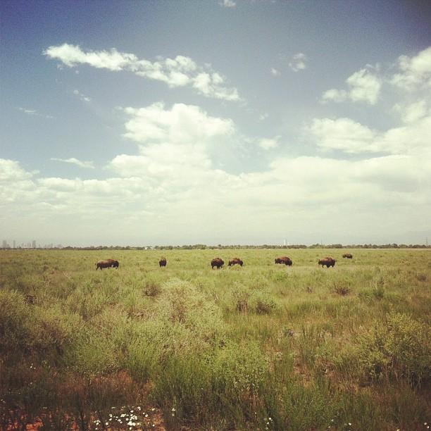 buffalo.jpg