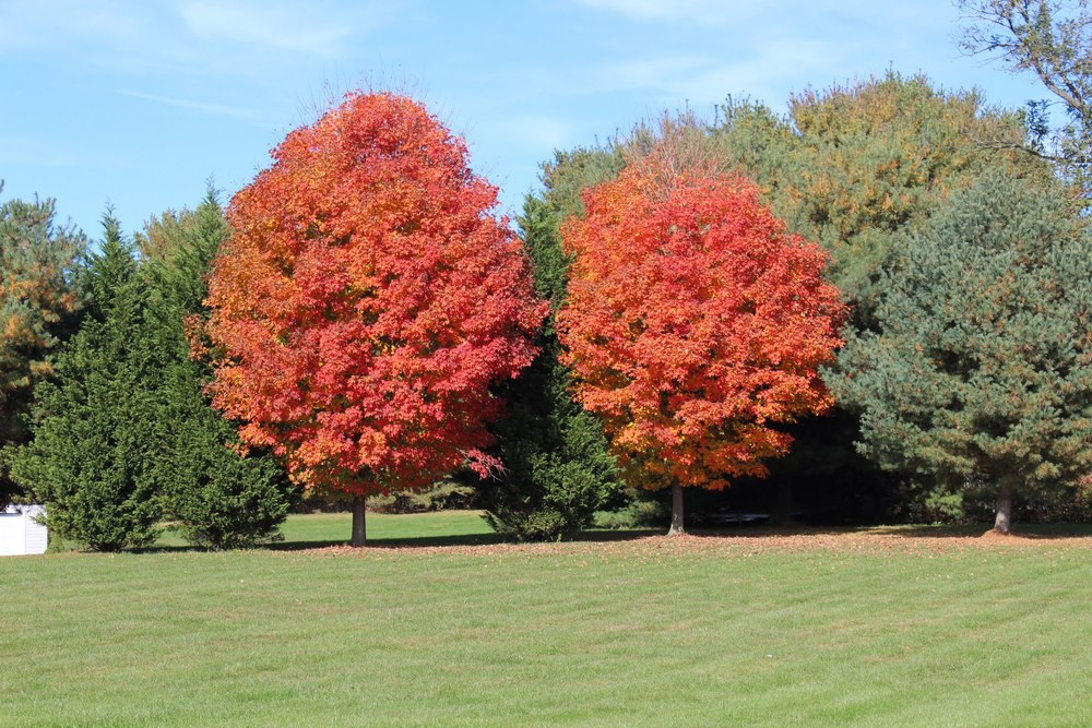 Blazing red maples .jpg