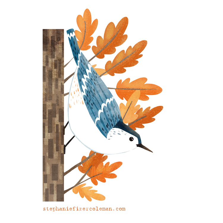 white-breasted nuthatch illustration by Stephanie Fizer Coleman