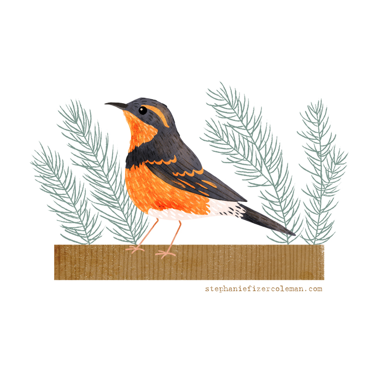48 varied thrush square.jpg