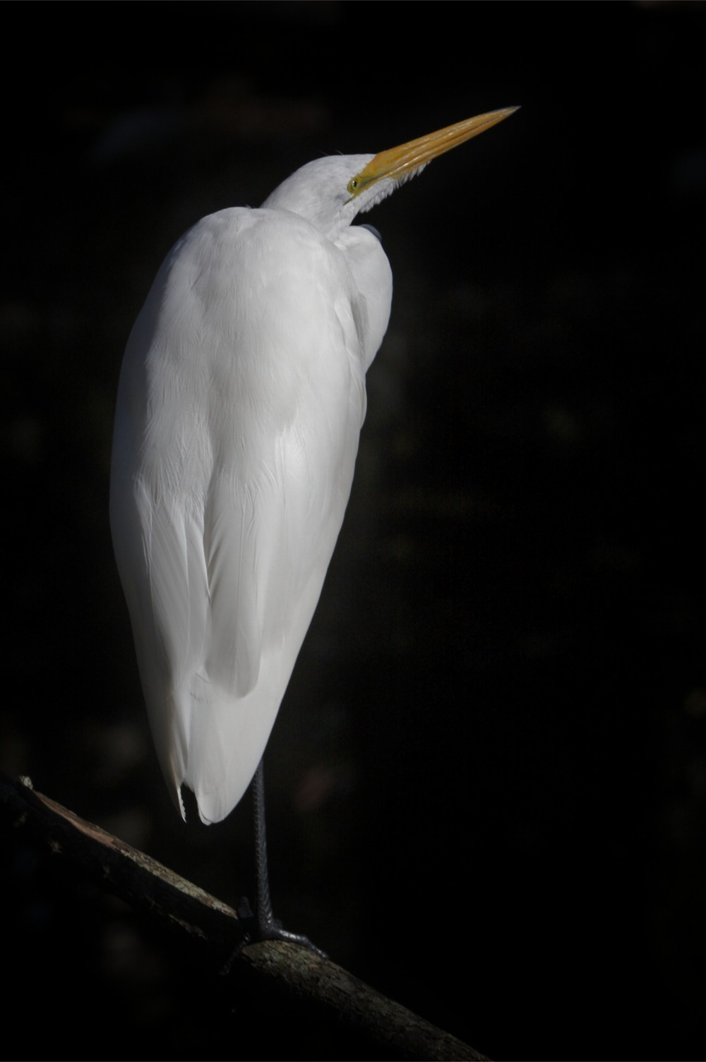 Egret on Black.jpg