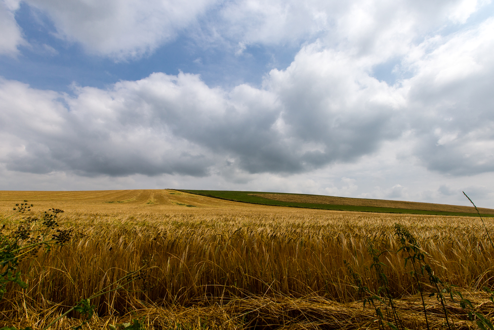 summer wheat would be harvested by Samhain