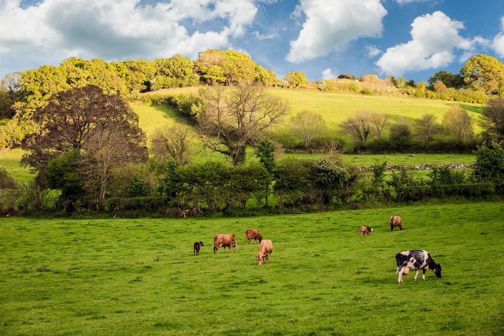devon countryside and cows
