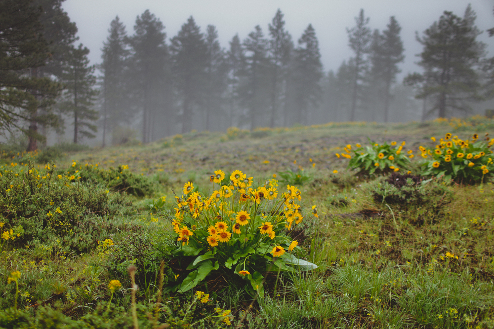 Balsam Root on Badger Mountain, Washington.