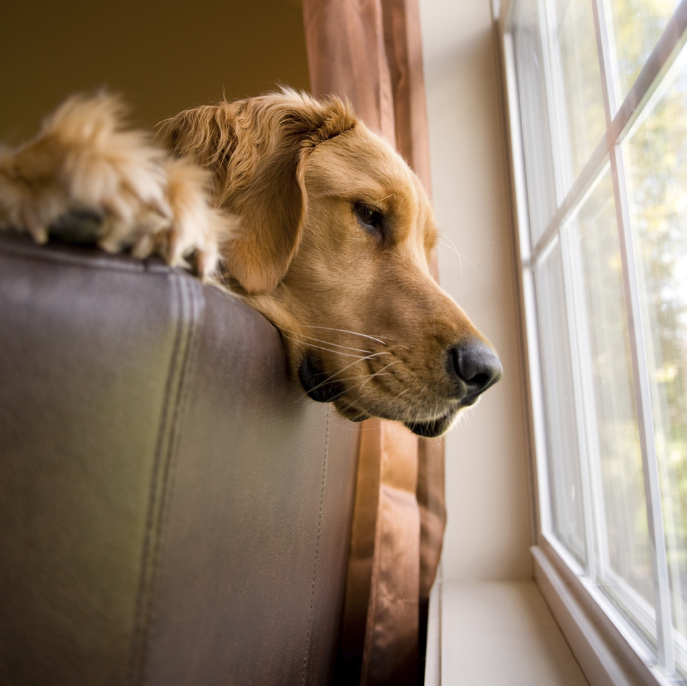 Dog home alone separation anxiety